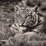 """Sumatran Tiger Cub - Taking A Break"" by CelticOriginsPhotography"