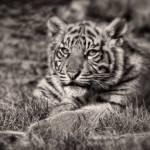 """Sumatran Tiger Cub - Taking A Break"" by CelticOriginsPhotography"