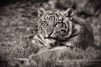 Sumatran Tiger Cub - Taking A Break