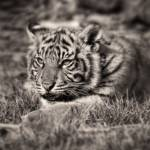 """Sumatran Tiger Cub - Little Growl"" by CelticOriginsPhotography"
