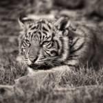 """Sumatran Tiger Cub - Little Growl"" by CelticOriginsPhotography"
