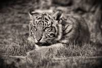 Sumatran Tiger Cub - Little Growl