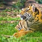"""Sumatran Tiger Cub In The Sun"" by CelticOriginsPhotography"
