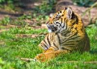 Sumatran Tiger Cub In The Sun