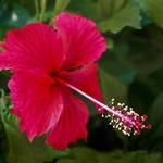 """""""Hibiscus"""" by URSPIX"""