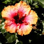 """Hibiscus Flower"" by lisa5"