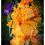 """GOLDEN RUFFLES 2"" by shaynaphotography"