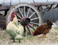 Chickens and an Old Wagon Wheel