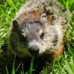 """Baby Groundhog"" by madworld"
