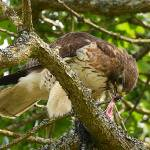 """""""Red-Tail Hawk"""" by unicornorg"""