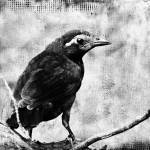 """""""Young Grackle"""" by angelandspot"""