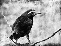 Young Grackle