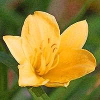 Daylily Flower  Yellow