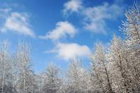 Snowy Trees and the Blue Sky
