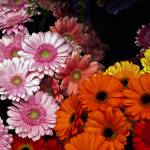 """Gerber Daisies"" by raetucker"