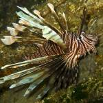 """Lion Fish on the Austin Smith Wreck"" by Mac"
