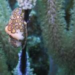 """flamingo tongue"" by Mac"