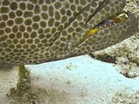 grouper and cleaner shrimp