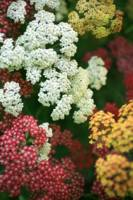 Multicolored Achillea Yarrow under a Tree