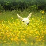 """Horsham Llama"" by carol29hynes"
