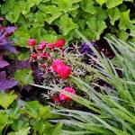 """""""Moss Roses in Garden"""" by KsWorldArt"""