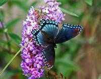 Butterfly Red-Spotted Purple