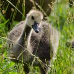 """Baby Goose"" by WildAboutNaturePhotography"