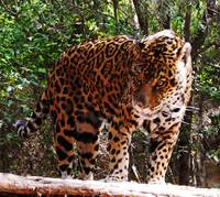 Jaguar Caged II