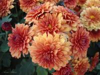 Orange Mums No. 2