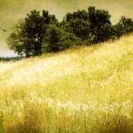 """Golden Fields"" by BarbaraZuz"