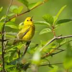 """Yellow Warbler"" by LarryBohlin"