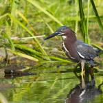 """Green Heron Stalking"" by LarryBohlin"