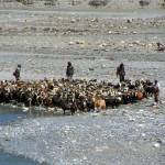 """Goats at River en route to Ghasa"" by Serena"