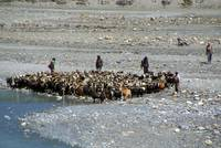 Goats at River en route to Ghasa