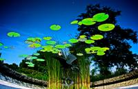 Floating Lillies in the Night Sky