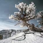 """Bryce Canyon Infrared Tree"" by miir"
