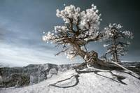 Bryce Canyon Infrared Tree
