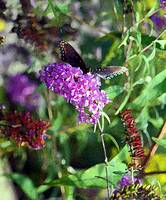 Butterfly  Red-Spotted Purple in Garden