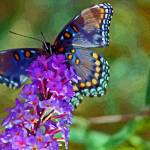 """Butterfly Red-Spotted Purple"" by KsWorldArt"