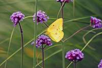 Butterfly Yellow Sulphur