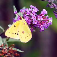 Butterfly Yellow Sulphur Square