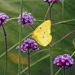 """Butterfly Yellow Sulphur in Field"" by KsWorldArt"