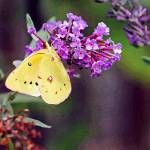 """Butterfly Yellow Sulphur"" by KsWorldArt"