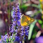 """Butterfly Yellow Sulphur square"" by KsWorldArt"