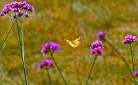 Butterfly Orange Sulphur in Field