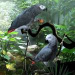 """Congo African Grey Parrots"" by spadecaller"