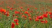 Poppies in crop