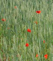 Poppies among wheat