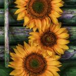 """Sunflower as Still Life"" by jimcrotty"