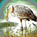"""Great Blue Heron"" by shelshots"